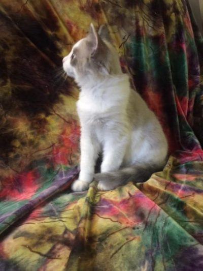 Ragdoll Kittens for Sale Ontario Canada | Chatabelles